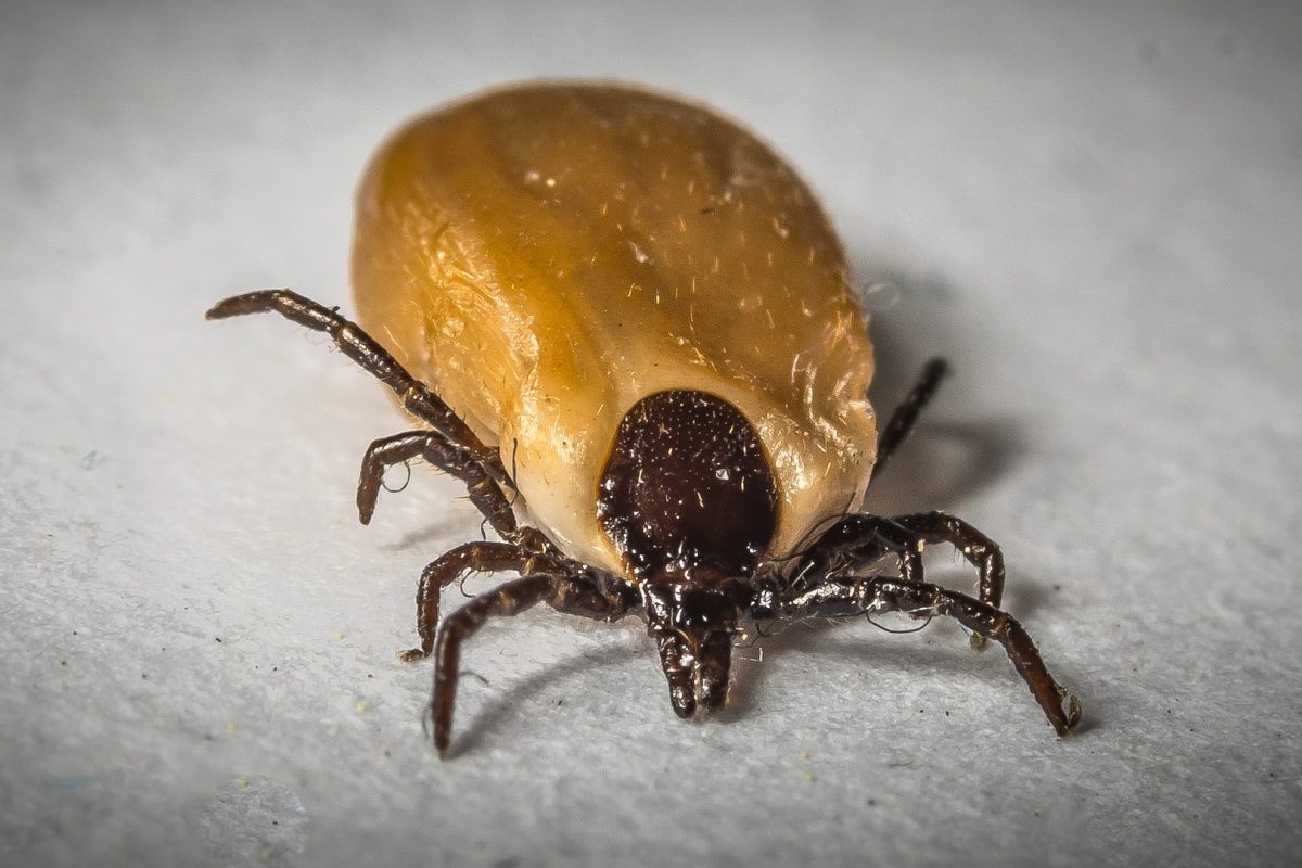 Your pet can also give you a infected tick